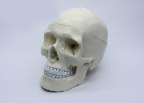 Череп людський (модель, анатомія людини)