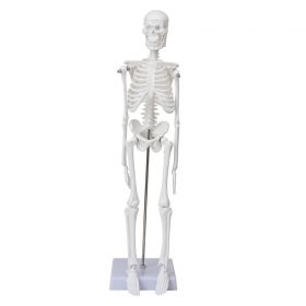 Макет людського скелета (45 см)