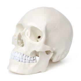 Череп человеческий (модель, анатомия человека)