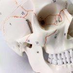 Модель людського черепа